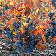 Autumn Grapes Art Print