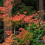 Autumn In Mount Rainier Forest Art Print