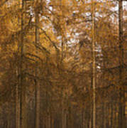 Autumn Larch Art Print