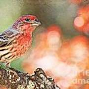 Autumn Male House Finch 1 Art Print