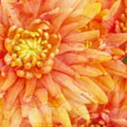 Autumn Mums Art Print by Heidi Smith