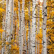 Autumn Quaking Aspen Art Print