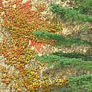 Autumn Vine And Evergreen Art Print