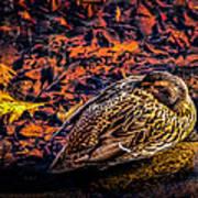 Autumns Sleepy Duck Art Print