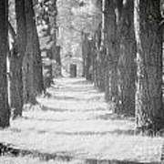 Avenue Of Trees New Zealand Art Print