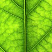 Avocado Leaf Art Print