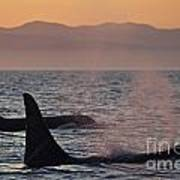 Award Winning Photo Of Two Killer Whales At Sunset Dramatic Silhouette Art Print