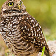 Awe Inspiring Owl Art Print by Andres Leon