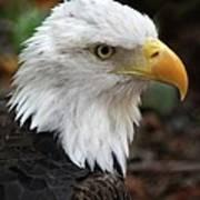 Awesome American Bald Eagle Art Print