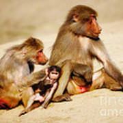 Baboon Family In The Desert Art Print