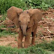 Baby Africa Elephant, Samburu National Art Print