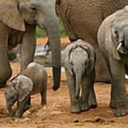 Baby African Elephants Art Print