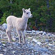 Baby Big Horn Sheep Art Print