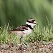 Baby - Bird - Killdeer Art Print