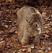 Baby Canada Lynx In An Autumn Forest Art Print