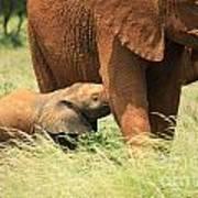 Baby Elephant Feeding Art Print