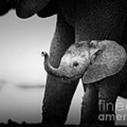Baby Elephant Next To Cow  Art Print