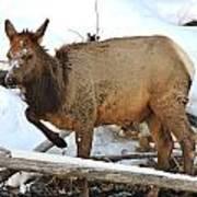 Baby Elk In Yellowstone Art Print