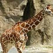 Baby Giraffe 4 Art Print