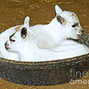 Baby Goats Lying In Food Pan Art Print