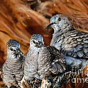 Baby Inca Doves Art Print