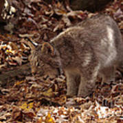 Baby Lynx Hunting In An Autumn Forest Art Print