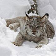 Baby Lynx In A Winter Snow Storm Art Print