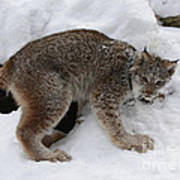 Baby Lynx Staying Close To Its Winter Den Art Print