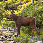 Baby Moose Baxter State Park Art Print
