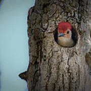 Baby Red Bellied Woodpecker Art Print