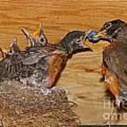 Baby Robins Feeding  An5141-14 Art Print