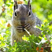 Baby Rock Squirrel  Art Print