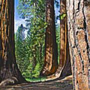 Bachelor And Three Graces In Mariposa Grove In Yosemite National Park-california Art Print