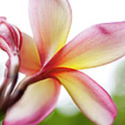 Back Of Plumeria Flower Art Print