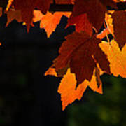 Backlit Autumn Maple Leaves Art Print