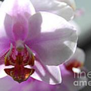 Backlit Orchid Art Print