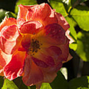 Backlit  Rose Art Print