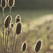 Backlit Teasel Art Print