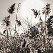 Backlit Winter Reeds Art Print by Elena Elisseeva