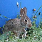 Backyard Bunny Art Print
