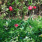 Backyard Tulips Art Print
