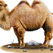 Bactrian Camel Art Print