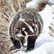 Badger In The Snow Art Print