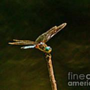 Balancing Dragonfly Art Print