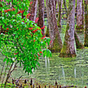 Bald Cypress And Red Buckeye Tree At Mile 122 Of Natchez Trace Parkway-mississippi Art Print