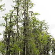 Bald Cypress - Axodium Distichum Art Print