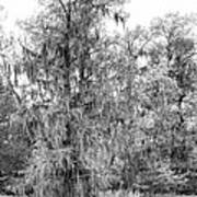 Bald Cypress Swamp In Black And White Art Print