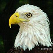 Bald Eagle-42 Art Print