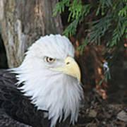 Bald Eagle #3 Art Print