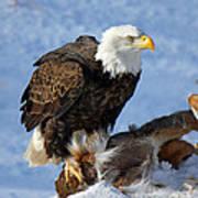 Bald Eagle And Carcass Art Print